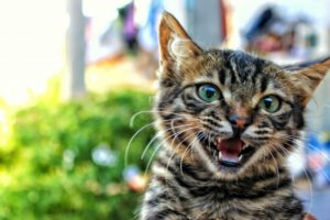 chaton-mignon-qui-miaule